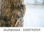 Small photo of Chameleon twain scrimmage On the tree