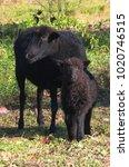 Small photo of black sheep and lamb