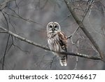 Stock photo barred owl in the early morning 1020746617
