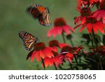 Stock photo butterfly is flying in to the flower flight butterfly approaching a flower monarch danaus 1020758065