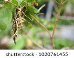 close up of oleander hawk moth