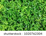 green leaves background  or the ... | Shutterstock . vector #1020762304