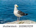 Seagull Close Up   A Close Up...