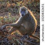 olive baboon  amboseli national ... | Shutterstock . vector #1020832651