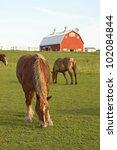 Belgian Draft Horses Graze On ...