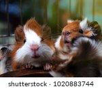 Stock photo hamsters teddy bear hamster 1020883744