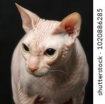 closeup cat of breed sphynx... | Shutterstock . vector #1020886285