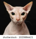 closeup cat of breed sphynx... | Shutterstock . vector #1020886621
