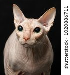 cat of breed sphynx isolated on ... | Shutterstock . vector #1020886711