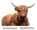 scottish cow on a white... | Shutterstock . vector #1020899914