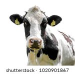 Cow Isolated On A White...