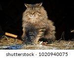 Closed Eyes Siberian Cat...
