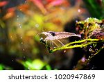 Small photo of Amano shrimp: Caridina multidentata