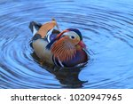 Small photo of The mandarin duck is a perching duck species found in East Asia. It is medium-sized and is closely related to the North American wood duck, the only other member of the aix family.