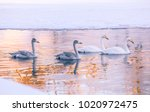 winter swans from kajaani river.... | Shutterstock . vector #1020972475