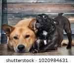 funny french bulldog puppy... | Shutterstock . vector #1020984631