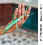 Small photo of Giant Indonesian Leaf-Insect. The insect imitates a large branch. He is one of the most skillful pretenders, although many other species skillfully resemble knots or stems of shrubs.