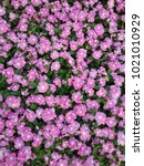 Small photo of Blooming pink vinca for background, pink flower background
