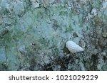 fossil shell on the sedimentary ... | Shutterstock . vector #1021029229