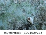 fossil shell on the sedimentary ... | Shutterstock . vector #1021029235