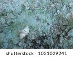 fossil shell on the sedimentary ... | Shutterstock . vector #1021029241