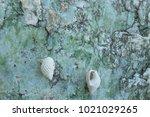 fossil shell on the sedimentary ... | Shutterstock . vector #1021029265