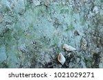 fossil shell on the sedimentary ... | Shutterstock . vector #1021029271