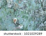 fossil shell on the sedimentary ... | Shutterstock . vector #1021029289