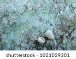 fossil shell on the sedimentary ... | Shutterstock . vector #1021029301