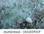 fossil shell on the sedimentary ... | Shutterstock . vector #1021029319