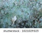 fossil shell on the sedimentary ... | Shutterstock . vector #1021029325