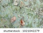 fossil shell on the sedimentary ... | Shutterstock . vector #1021042279