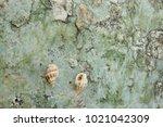 fossil shell on the sedimentary ... | Shutterstock . vector #1021042309