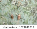 fossil shell on the sedimentary ... | Shutterstock . vector #1021042315