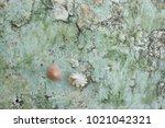 fossil shell on the sedimentary ... | Shutterstock . vector #1021042321