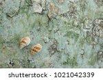 fossil shell on the sedimentary ... | Shutterstock . vector #1021042339
