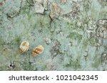 fossil shell on the sedimentary ... | Shutterstock . vector #1021042345