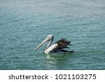 Pelicans Waiting To Be Fed