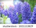 Abstract Blue Hyacinth Flowers...