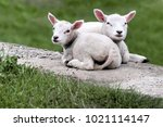 Two Cute Lambs Lying Next To...