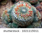 cactus plants in the botanical... | Shutterstock . vector #1021115011