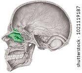 cranial cavity. the superior... | Shutterstock . vector #1021119187
