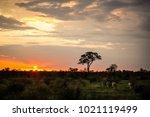 zebras feeding in a game... | Shutterstock . vector #1021119499