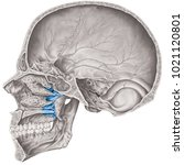 cranial cavity. the palatine... | Shutterstock . vector #1021120801