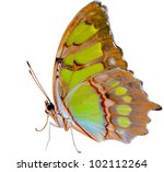 Stock photo beautiful butterfly isolated on white background 102112264