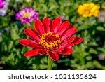 common zinnia  zinnia elegans ... | Shutterstock . vector #1021135624