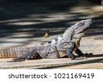 iguana in the wild. black spiny ... | Shutterstock . vector #1021169419