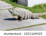wild spiny tailed iguana  black ... | Shutterstock . vector #1021169425