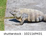 wild spiny tailed iguana  black ... | Shutterstock . vector #1021169431