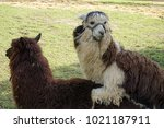Small photo of A couple of Alpaca make love.